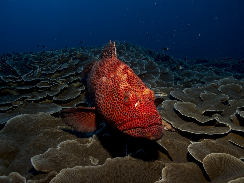Image of grouper