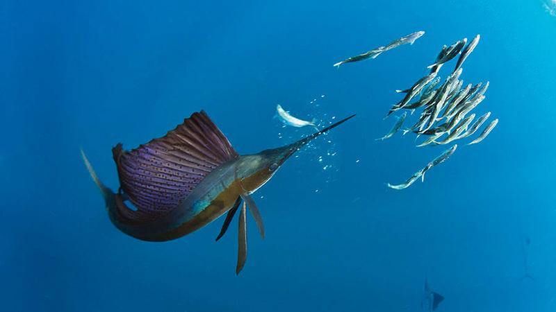 Sailfish Snorkeling