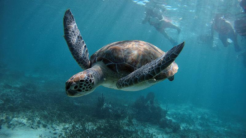 Sea Turtle Diving